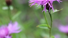 Brown knapweed or Centaurea jacea - purple flower in Carpatian mountains Stock Footage