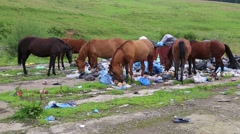 Herd of horses eats food waste on dump Stock Footage