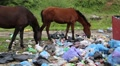 Horses eats food waste on dump Footage