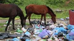 Horses eats food waste on dump - stock footage