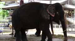 Elephant in zoological garden, Thailand Stock Footage