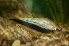 Tetra fish with black stripe Stock Photos