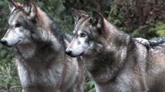 Two Gray Wolves Looking Off Camera Stock Footage