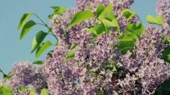 Violet flowers of sambucus nigra moving on wind Stock Footage