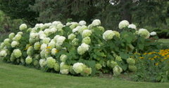 View of beautiful white hydrangeas at Kitchener, Canada Stock Footage
