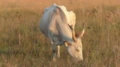 Hungarian Grey Cattle or Steppe Cattle Stock Footage