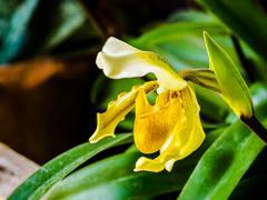 Beautiful Lady's Slipper Orchid - stock photo