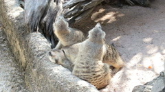 Meerkats family relax together near their hole Stock Footage