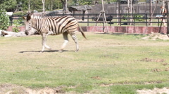 Zebra on grass field pan left HD - stock footage