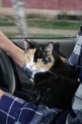 Сat travels on the lap of the driver - stock photo