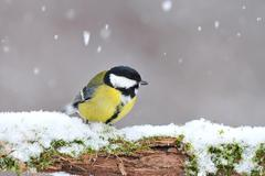 Great tit in winter Stock Photos