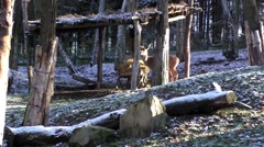 Stock Video Footage of Roe deer looking for food on the first snowy day