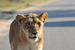 Lioness gaze Stock Photos
