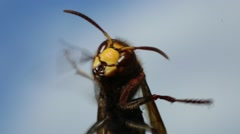 Hornet - large predatory insects Stock Footage