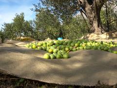 Harvesting day on olive tree plantation - stock photo