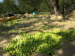 Picked green olives on ground at plantation - stock photo