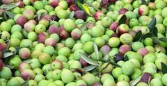 Stock Photo of Organic olives ready for processing
