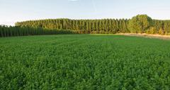 Agriculture alfalfa forage Side hops plantation and poplars Stock Photos