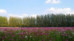 4k Timelapse of beautiful cosmos field Stock Footage