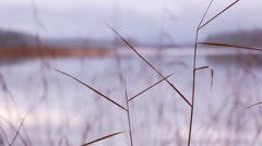 Rack focus shot of reeds at a cloudy lake with a dropping stone forming waves in Stock Footage