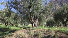Centennial Olive Trees - stock footage