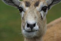 An inquisitive small wild Blackbuck - Antilope cervicapra - stock photo