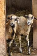 Cameroon Sheep - Ovis aries - breed of domestic sheep Stock Photos