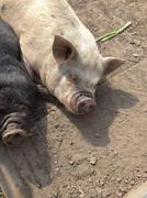 On the farm Domestic Pig - Sus scrofa domesticus - stock photo