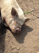On the farm Domestic Pig - Sus scrofa domesticus Stock Photos