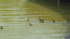 Ducks swimming in Gheorgheni Lake in Cluj-Napoca Stock Footage