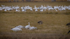 Canada and Snow Geese Feed in Grassy Field - stock footage
