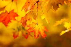 Abstract autumn natural background with yellow maple leaves - stock photo