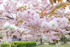 Sakura. Cherry Blossom in Springtime. - stock photo