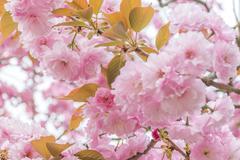Sakura. Cherry Blossom in Springtime. - stock photo