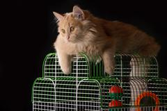 Red cat lays on the cage with a parrot. - stock photo
