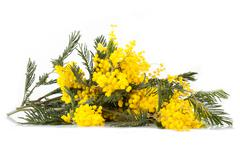 Branches Of Mimosa In Bloom - stock photo