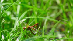 Red dragonflies mate Stock Footage