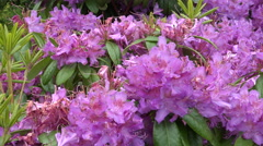 Rhododendron in the Lady Thorn Rhododendron Dell Public Garden, NZ Stock Footage