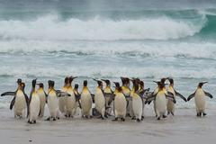 King Penguins Coming Ashore - stock photo
