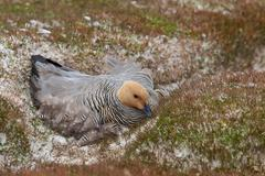 Upland Goose on a Nest Stock Photos