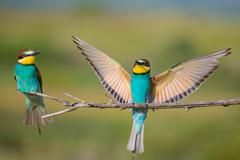 two bee-eaters sitting on a branch - stock photo