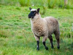 Black-faced Suffolk sheep on pasture - stock photo
