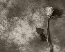 Condolence card with rose - with deepest sympathy - stock photo