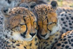 Endangered cheetah cubs sleeping Stock Photos