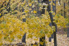 maple leaves on a tree. autumn wood in the country. - stock photo