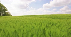 Aerial view from an young grainfield Stock Footage