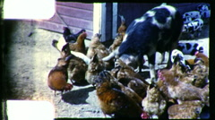 Pigs and Chickens Barnyard Family Farm USA 1960s Vintage Film Home Movie 9293 Stock Footage