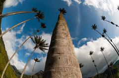 Tall Palm trees on green grass under blue sky with clouds in Cocora Valley Kuvituskuvat