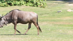 Blue Wildebeest HD Stock Footage