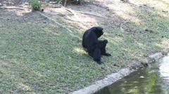 Gibbon or black-handed gibbon beside a small canal HD Stock Footage